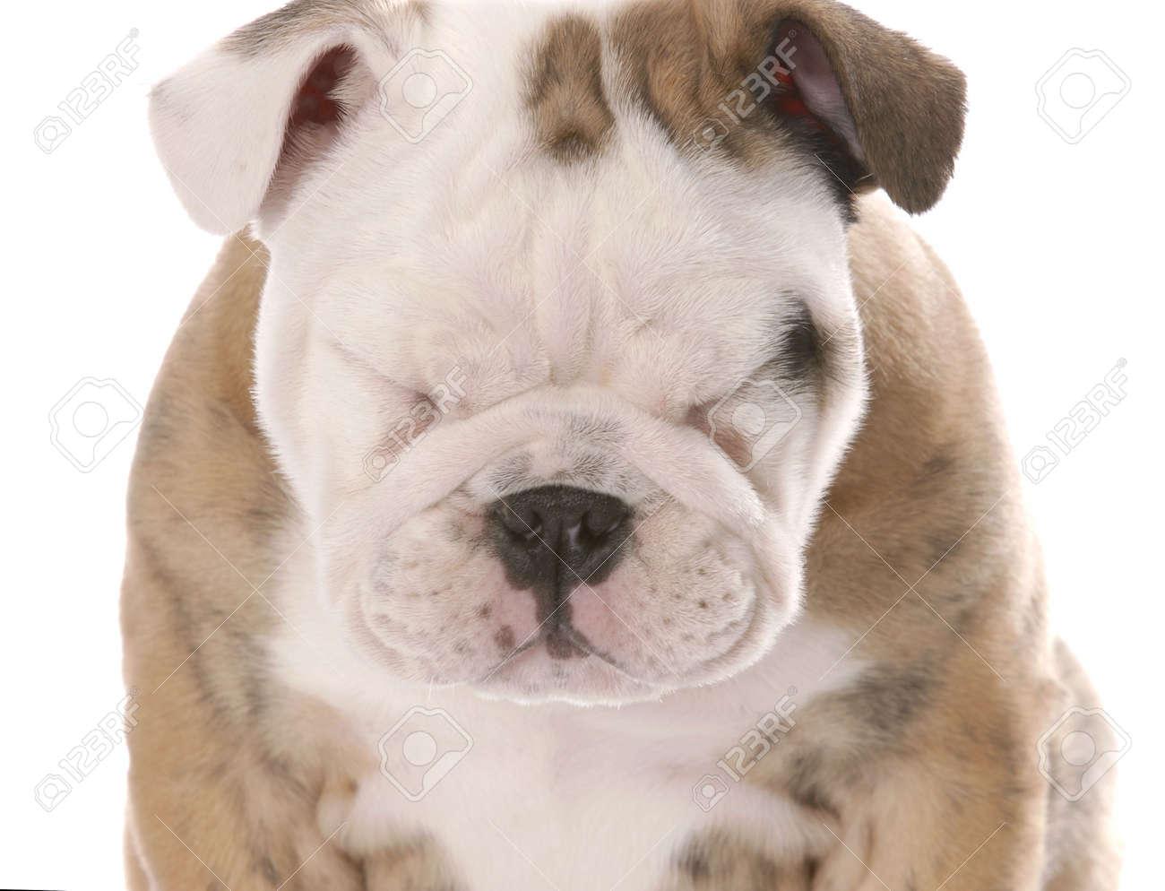 english bulldog puppy squinting isolated on white background Stock Photo - 6347363