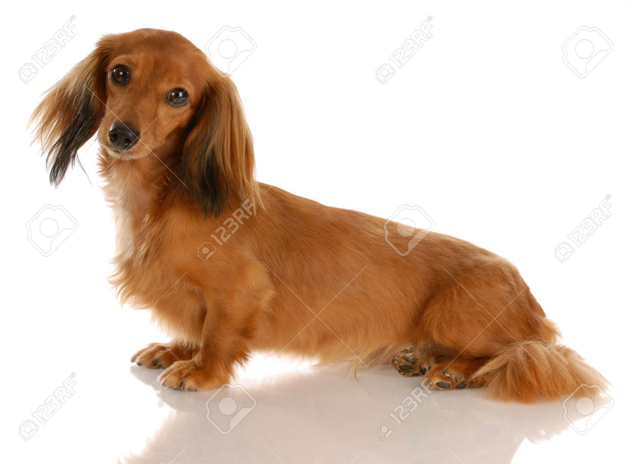 miniature long haired dachshund sitting with reflection on white