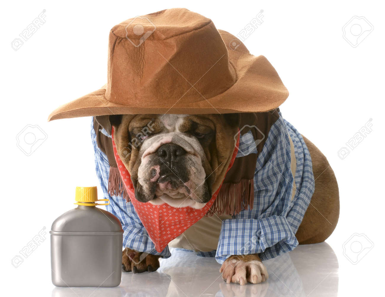English Bulldog Wearing Cowboy Costume Sitting Beside Whiskey