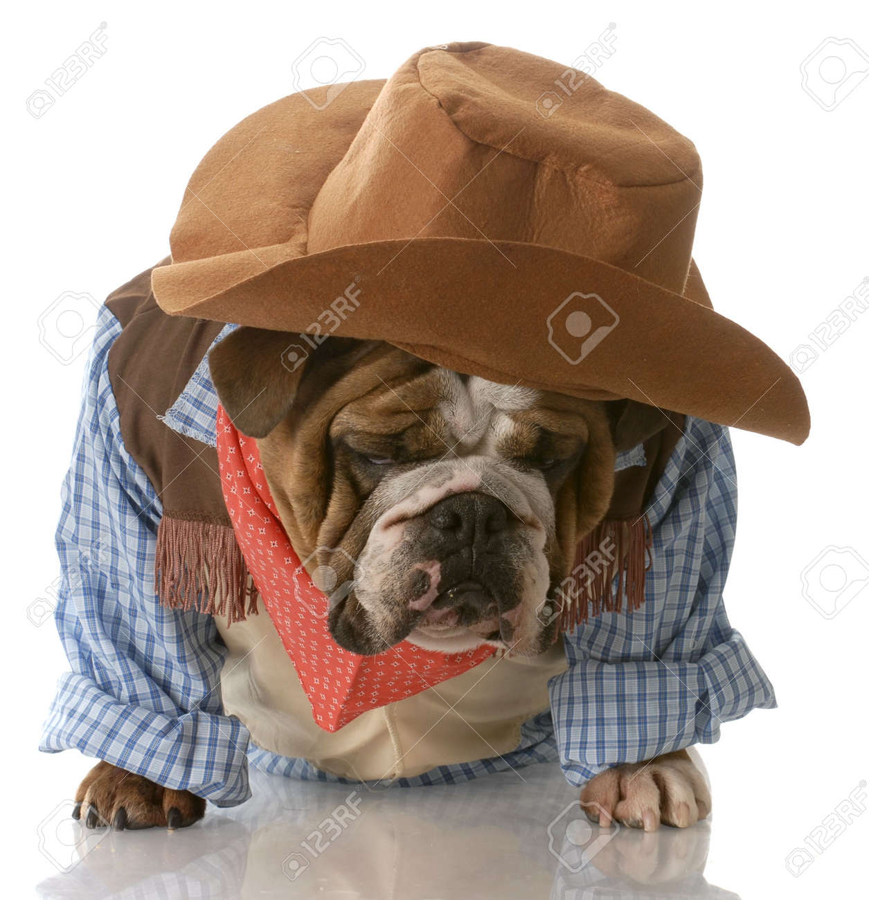 English Bulldog Dressed Up In Cowboy Costume With Depressed
