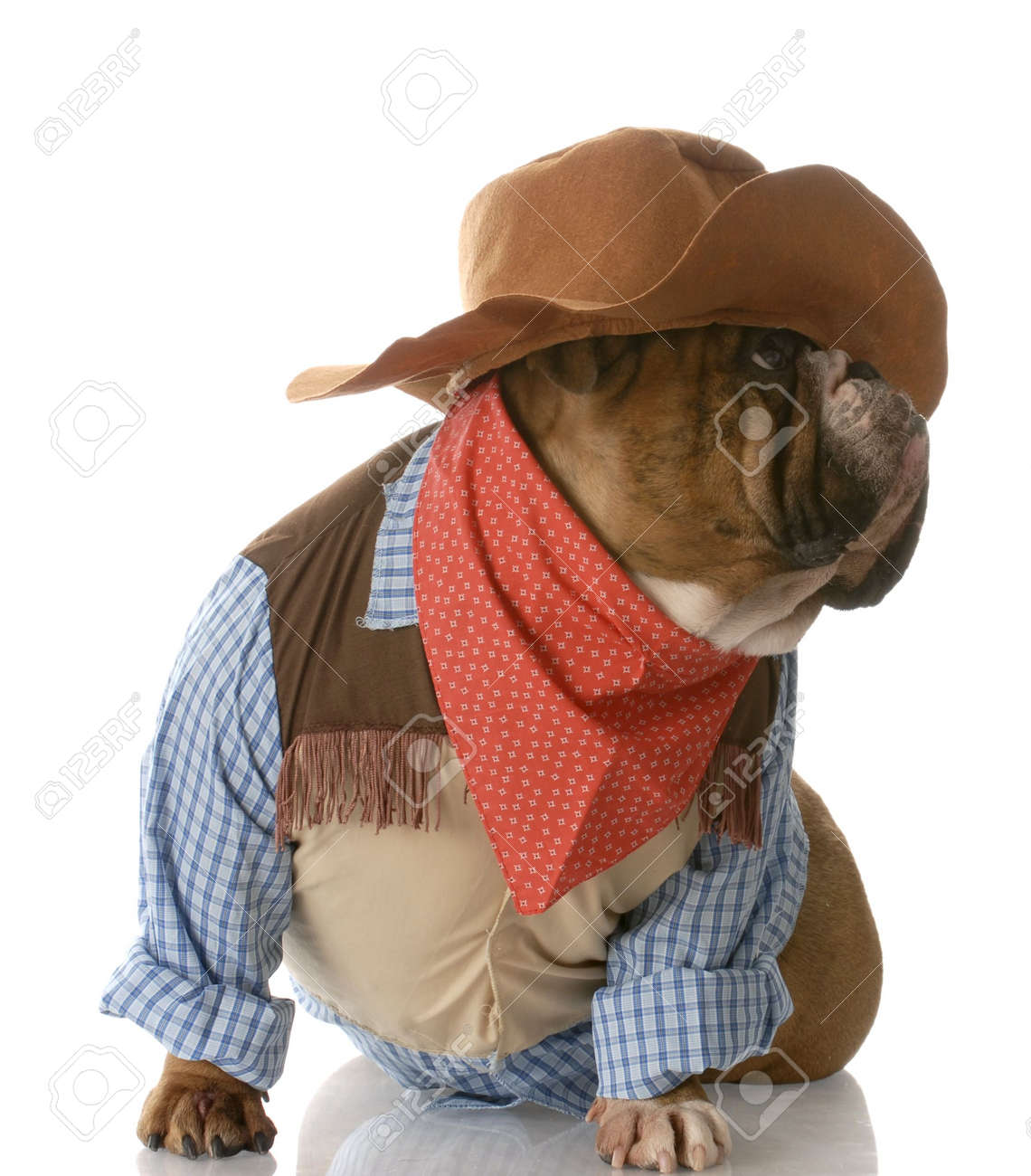 English Bulldog Dressed Up As A Cowboy With Reflection On White