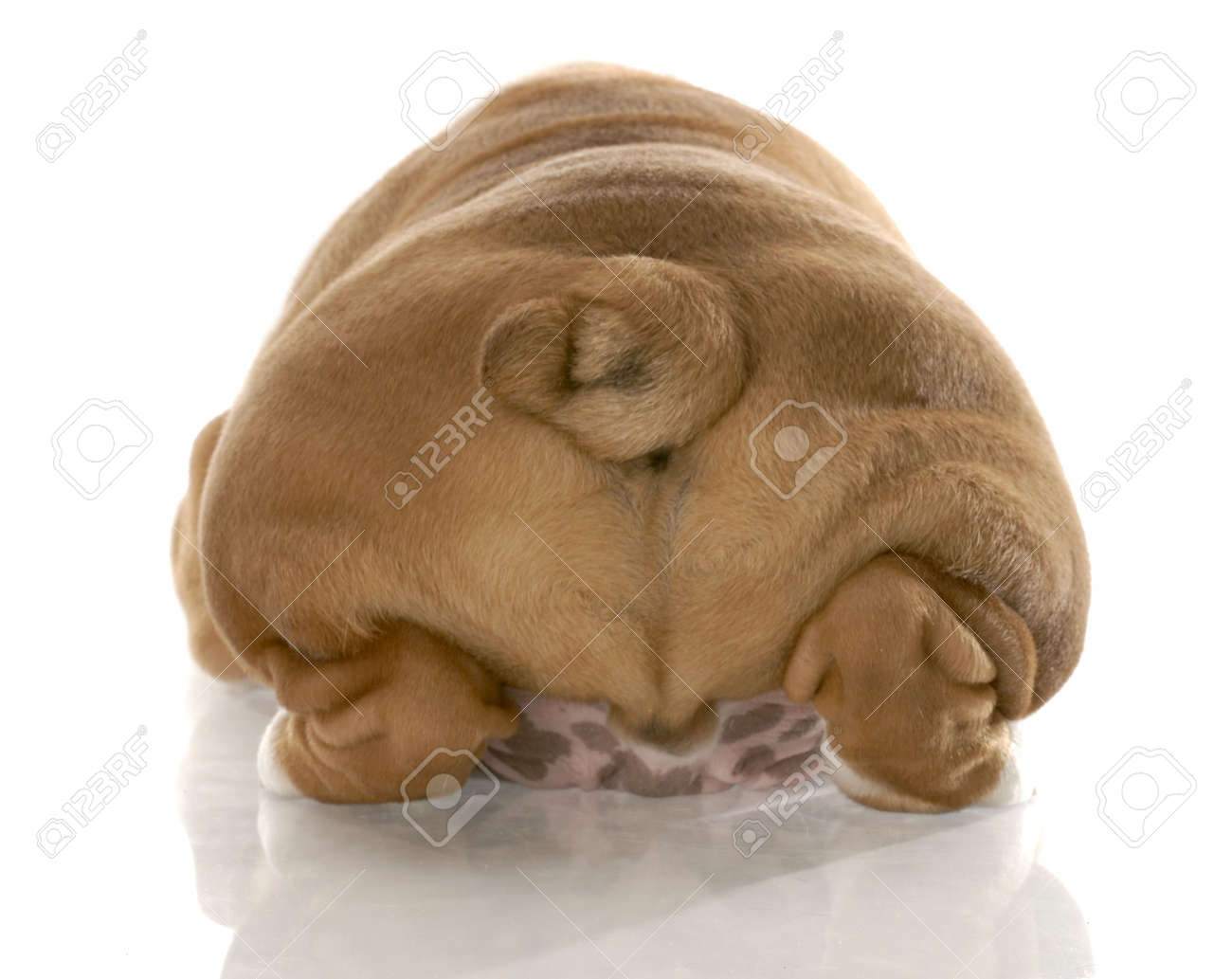english bulldog puppy from the rear end with reflection on white background Stock Photo - 6564292