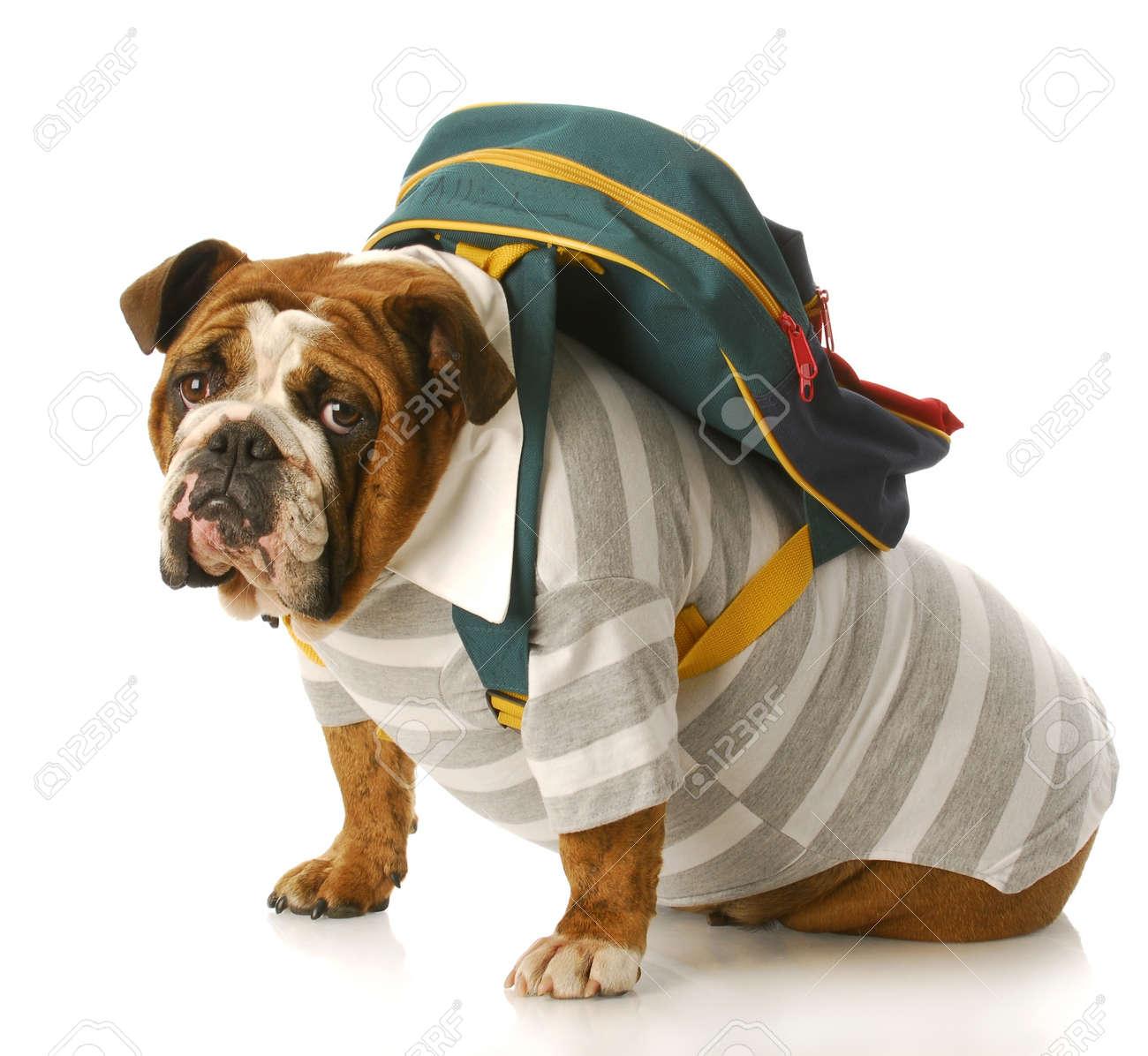 english bulldog wearing striped shirt and back pack sitting with reflection on white background Stock Photo - 7378434