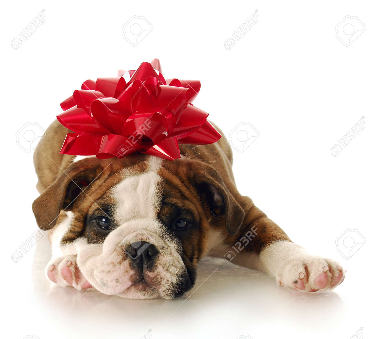 Amazing Puppies Bow Adorable Dog - 7427500-adorable-english-bulldog-puppy-with-red-bow-on-his-head-with-reflection-on-white-background  Photograph_935142  .jpg
