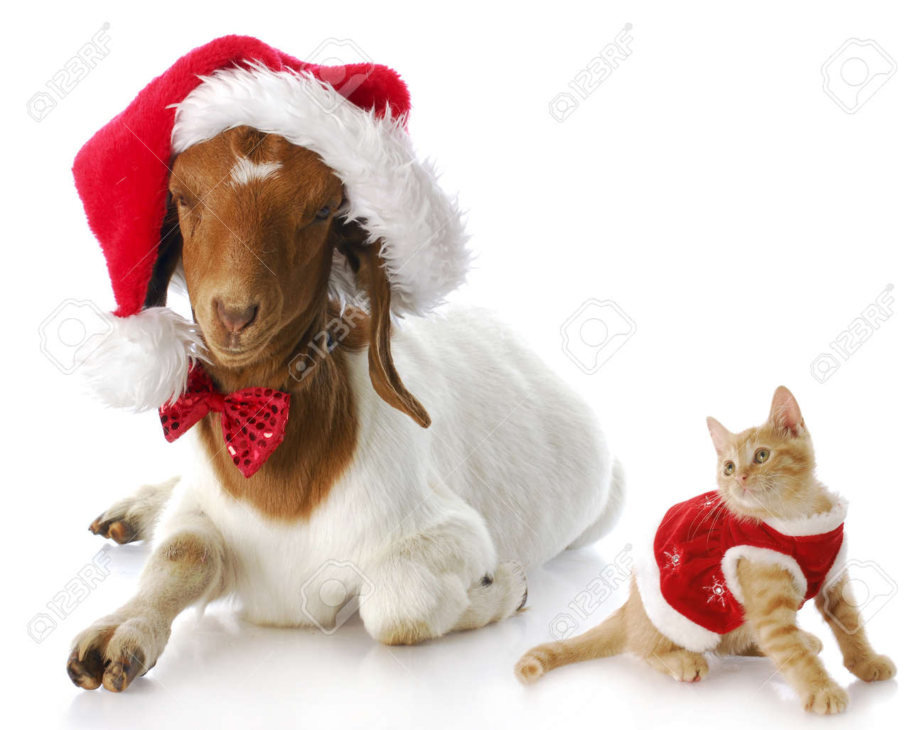 Christmas Goat.Cute Kitten In Christmas Dress Looking At Goat Dressed Up In