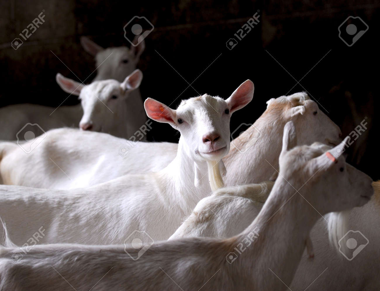 dairy goat herd on a farm - purebred saneen Stock Photo - 7570165