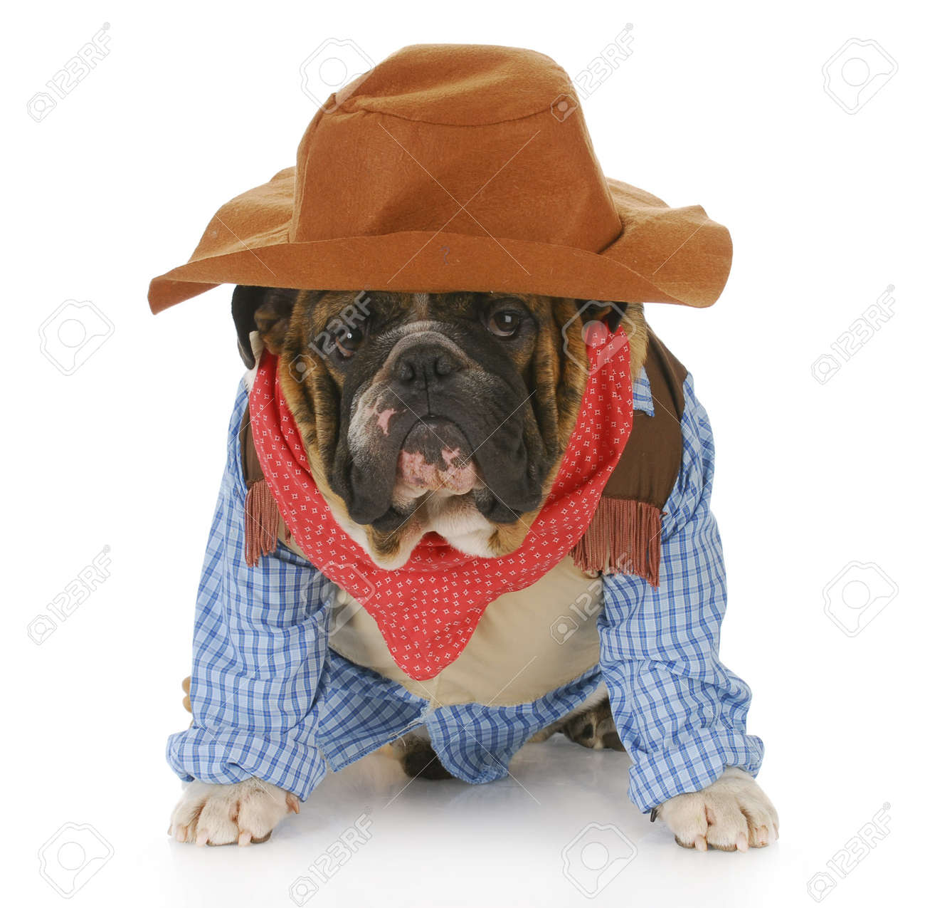 English Bulldog Wearing Western Hat And Cowboy Shirt With Reflection