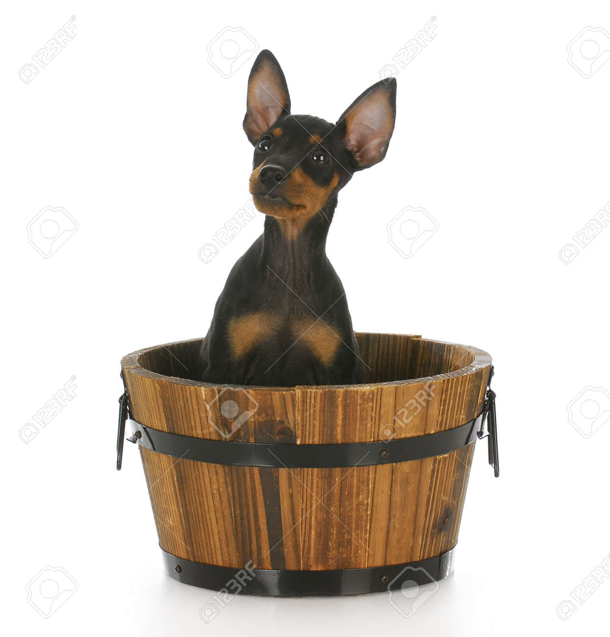 Toy Manchester Terrier Puppy Sitting In A Wooden Bucket With.. Stock ...
