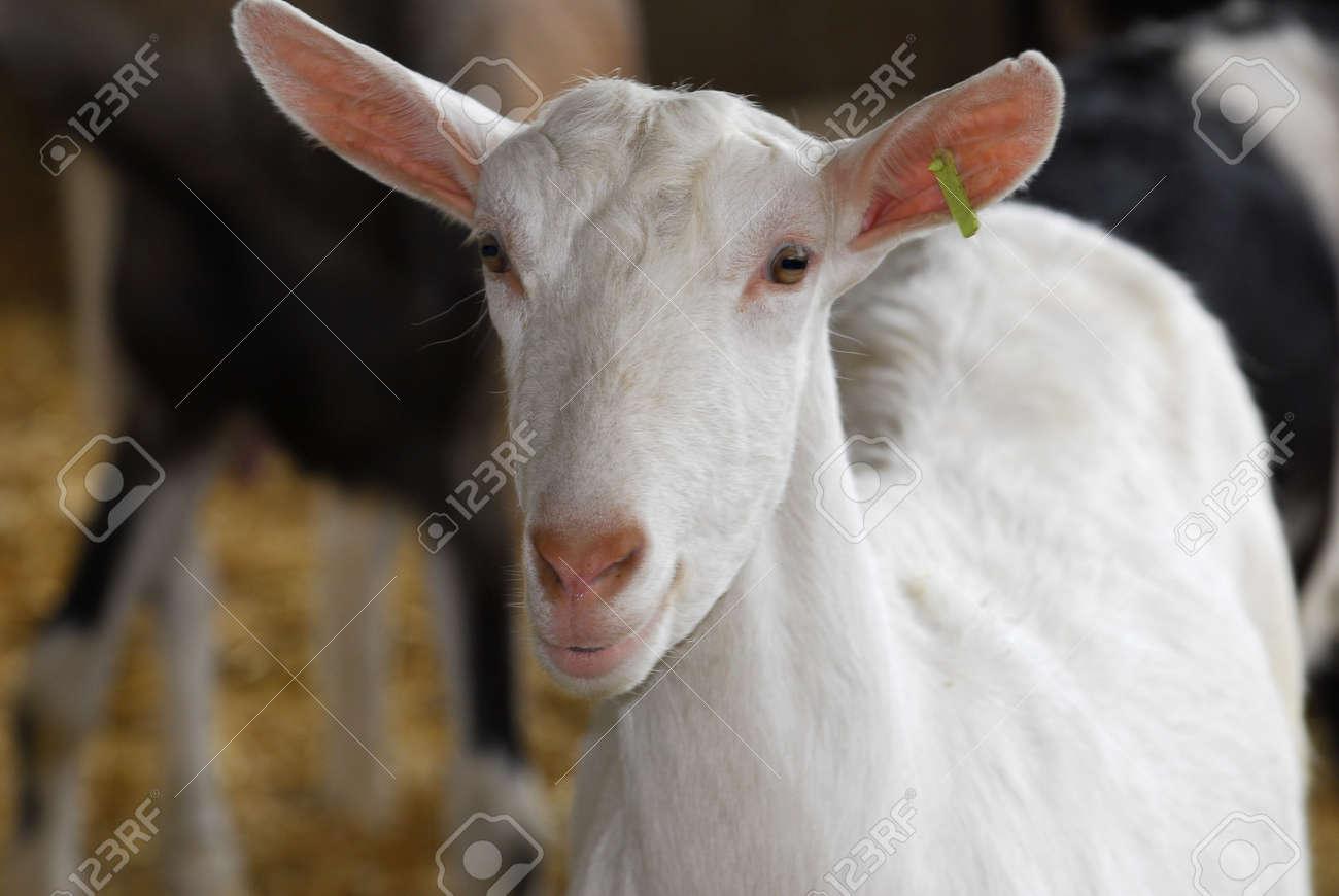 saanan dairy goat doe in the barn Stock Photo - 7776782