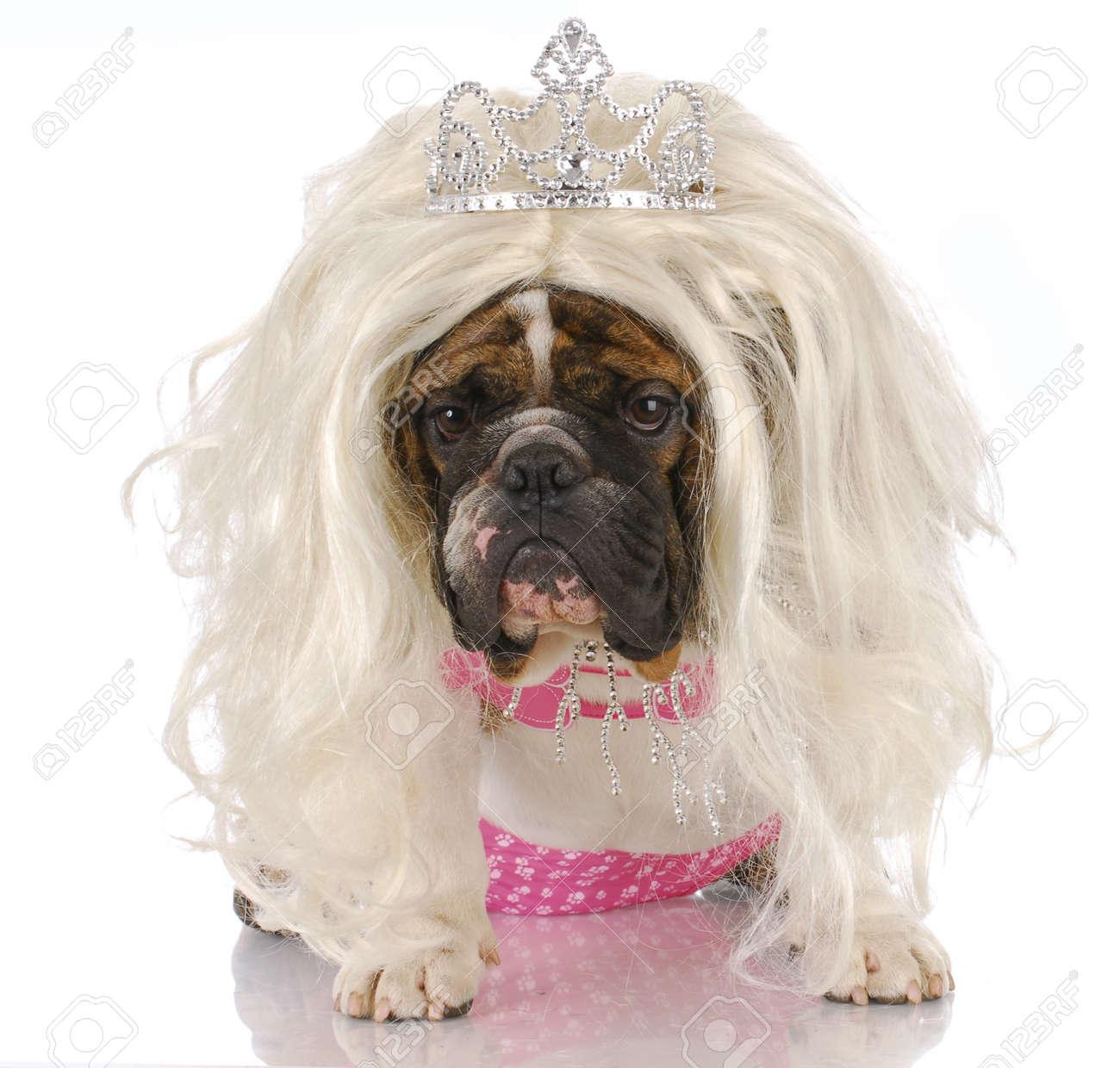 English Bulldog Dressed up