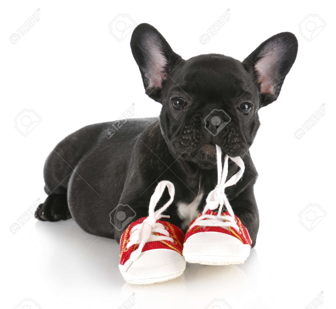 8ca5664a french bulldog puppy chewing on pair of red running shoes with reflection  on white background Stock
