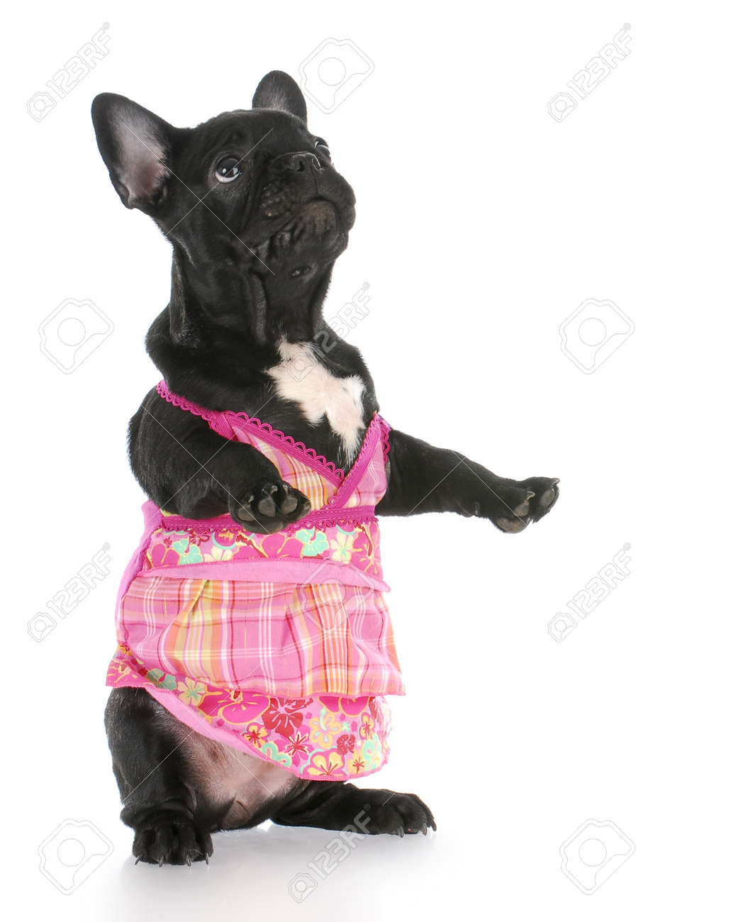 french bulldog wearing pink dress standing on back legs with reflection on white background Stock Photo - 7879426