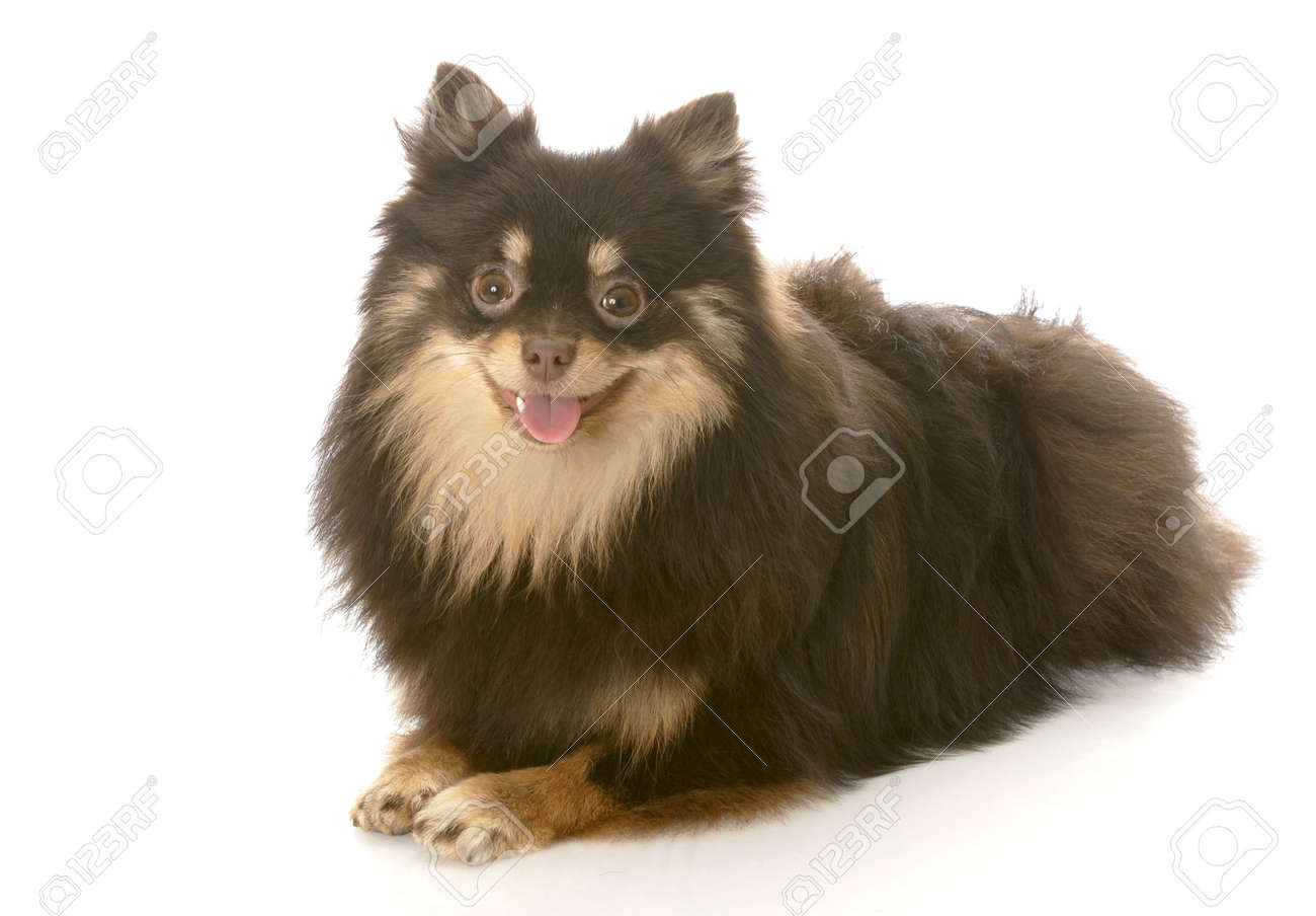 Best Pomeranian Brown Adorable Dog - 8121736-adorable-brown-and-tan-pomeranian-puppy-laying-down-with-reflection-on-white-background  HD_743148  .jpg