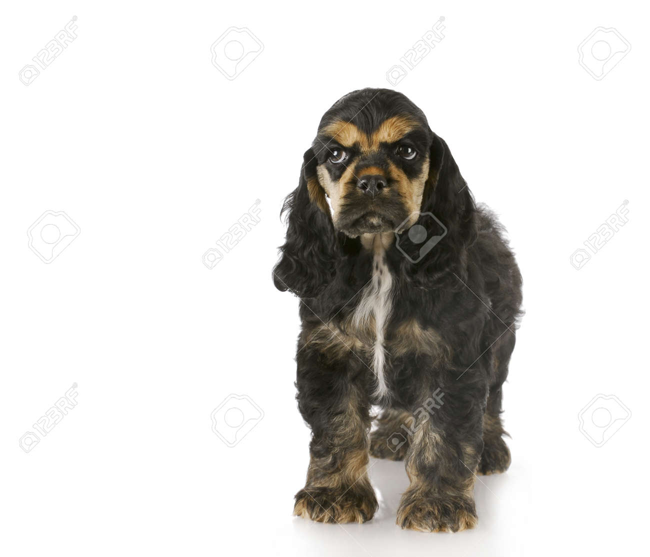 Cocker Spaniel Puppy Standing With Reflection On White Background Stock Photo Picture And Royalty Free Image Image 8228196