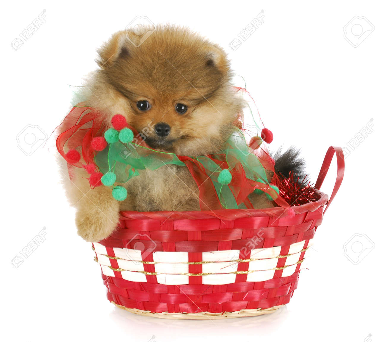 pomeranian puppy sitting in red christmas basket with reflection on white background Stock Photo - 8264114