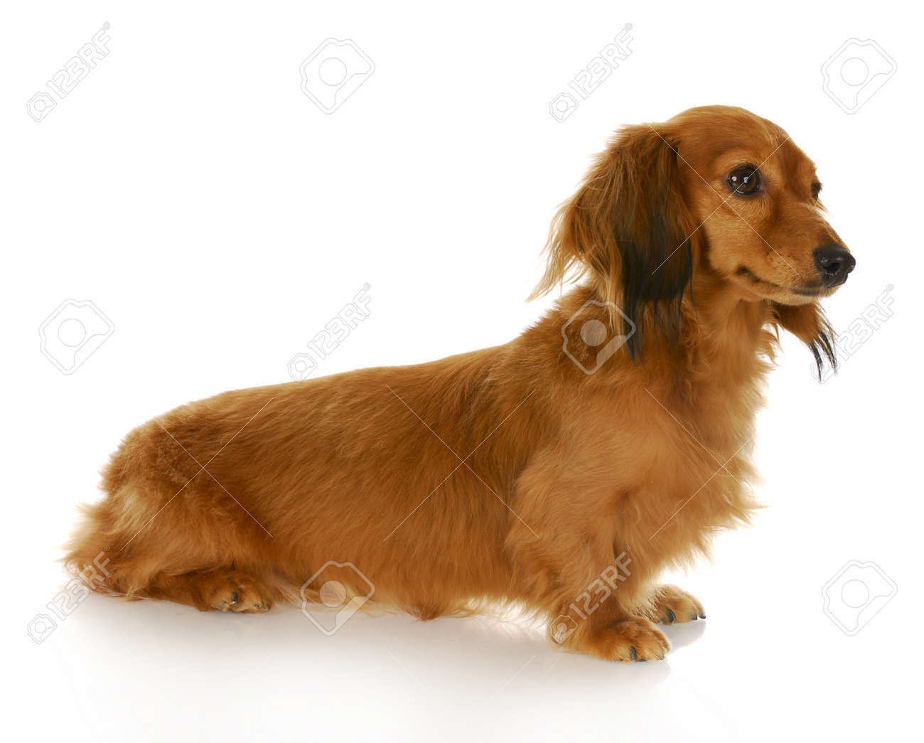 long haired miniature dachshund sitting with reflection on white background Stock Photo - 8388407