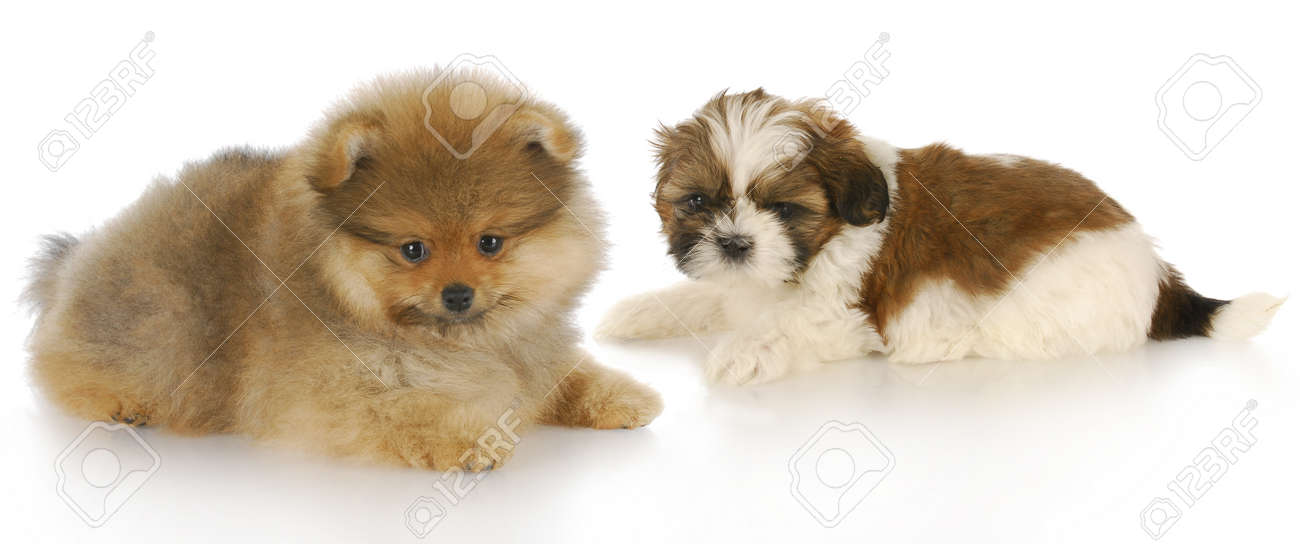 pomeranian puppy and shih tzu puppy laying down together with reflection on white background Stock Photo - 8415167