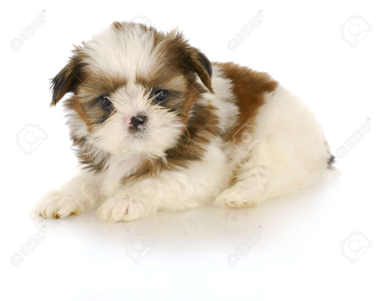 Adorable Shih Tzu Puppy Laying Down On White Background 6 Weeks