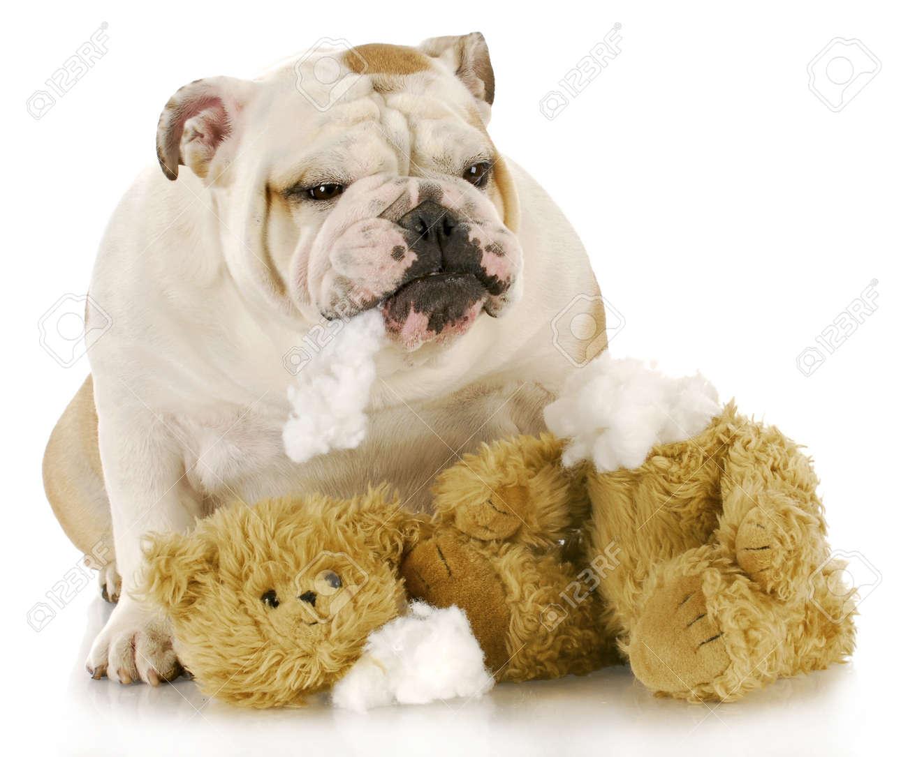 english bulldog ripping apart stuffed animal with reflection  - english bulldog ripping apart stuffed animal with reflection on whitebackground stock photo