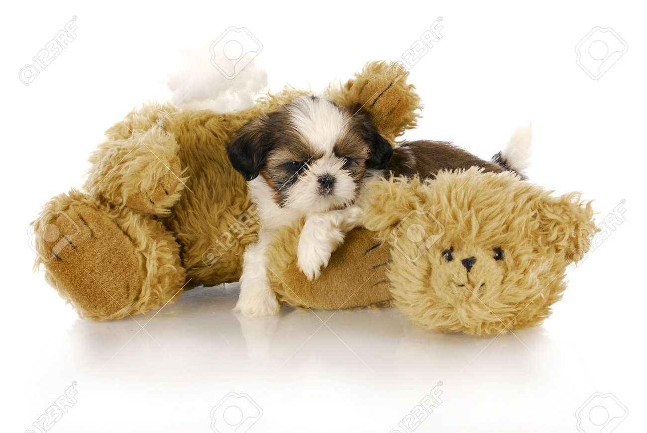 Cute Shih Tzu Puppy Laying Beside Ripped And Torn Teddy Bear Stock Photo Picture And Royalty Free Image Image 8481488