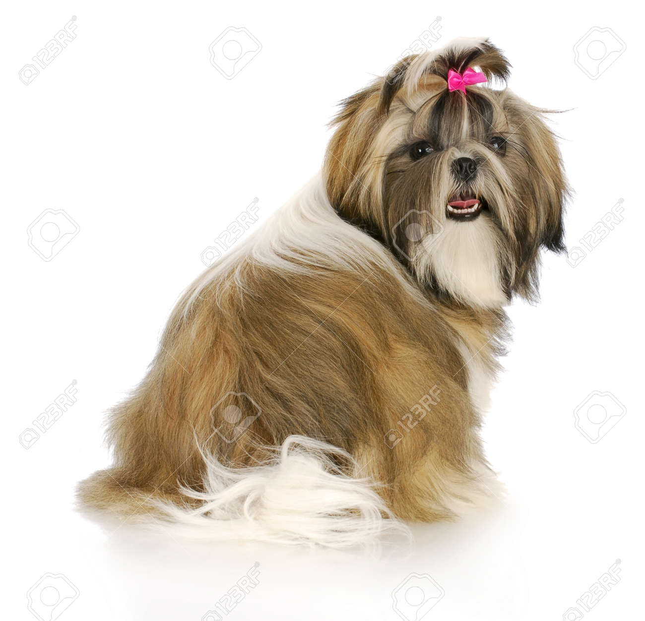 Download Puppies Bow Adorable Dog - 8481483-adorable-female-shih-tzu-puppy-with-pink-bow-in-hair-with-reflection-on-white-background  Gallery_74289  .jpg
