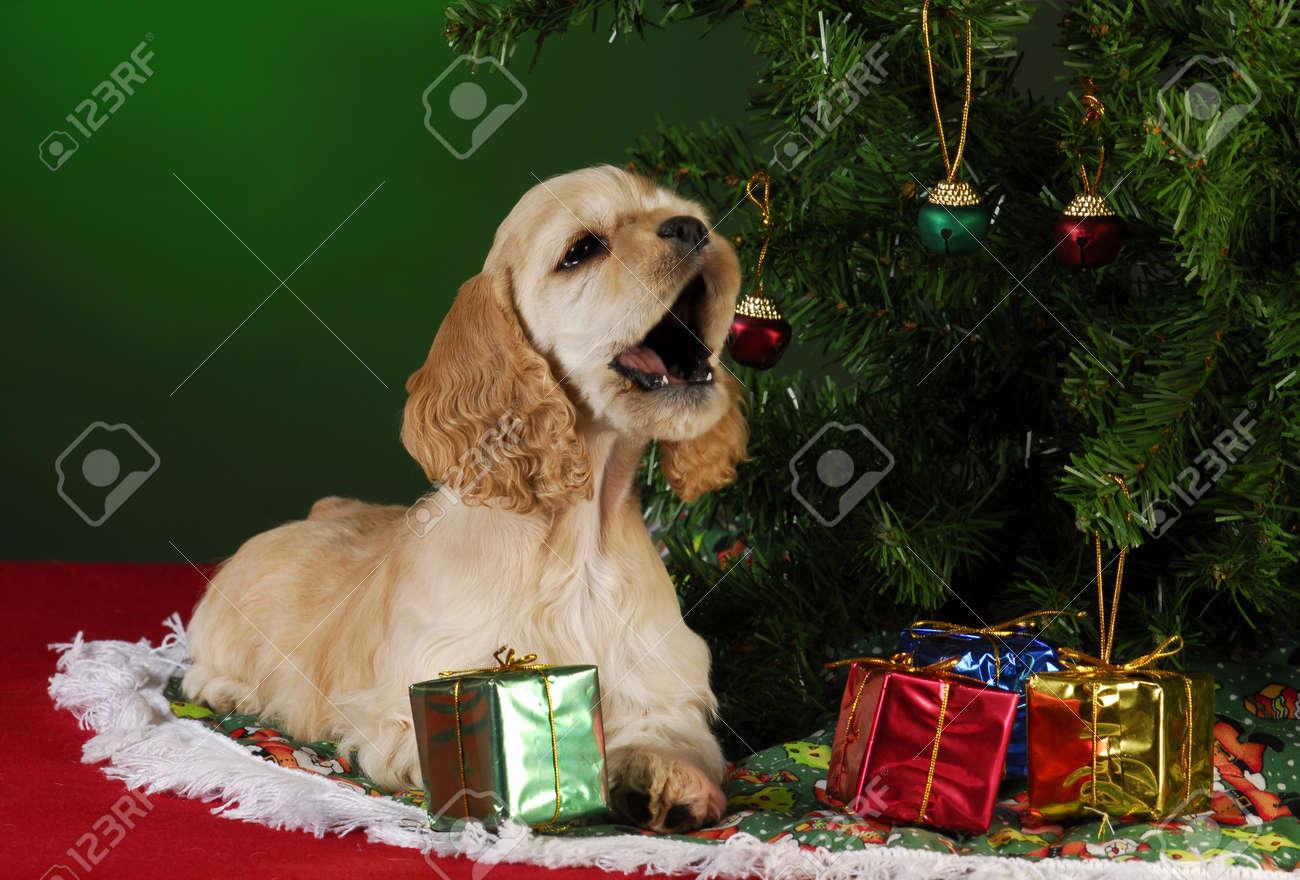cocker spaniel puppy under christmas tree on green background Stock Photo -  8492879