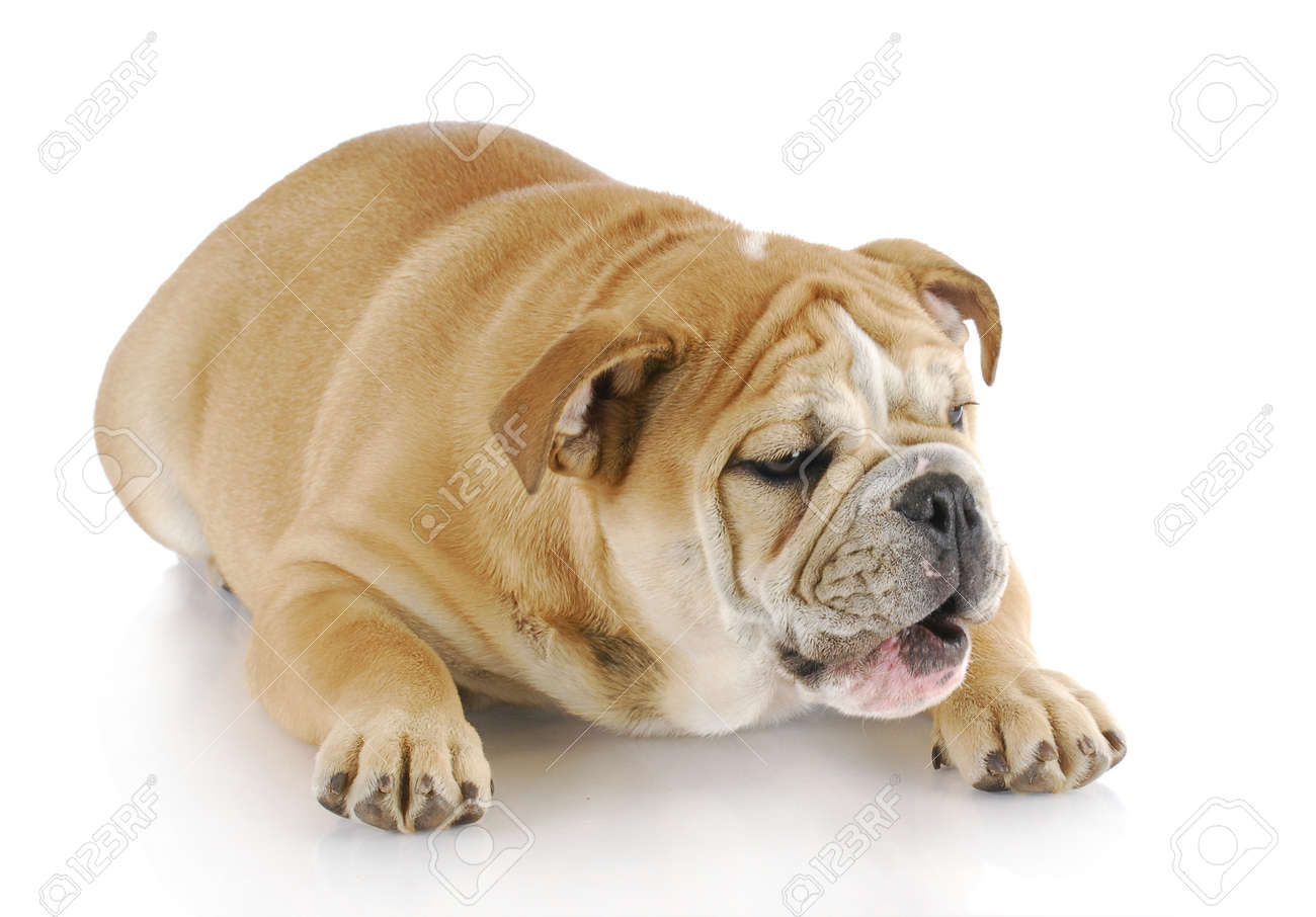 english bulldog laying down with mouth open on white background Stock Photo - 8522499