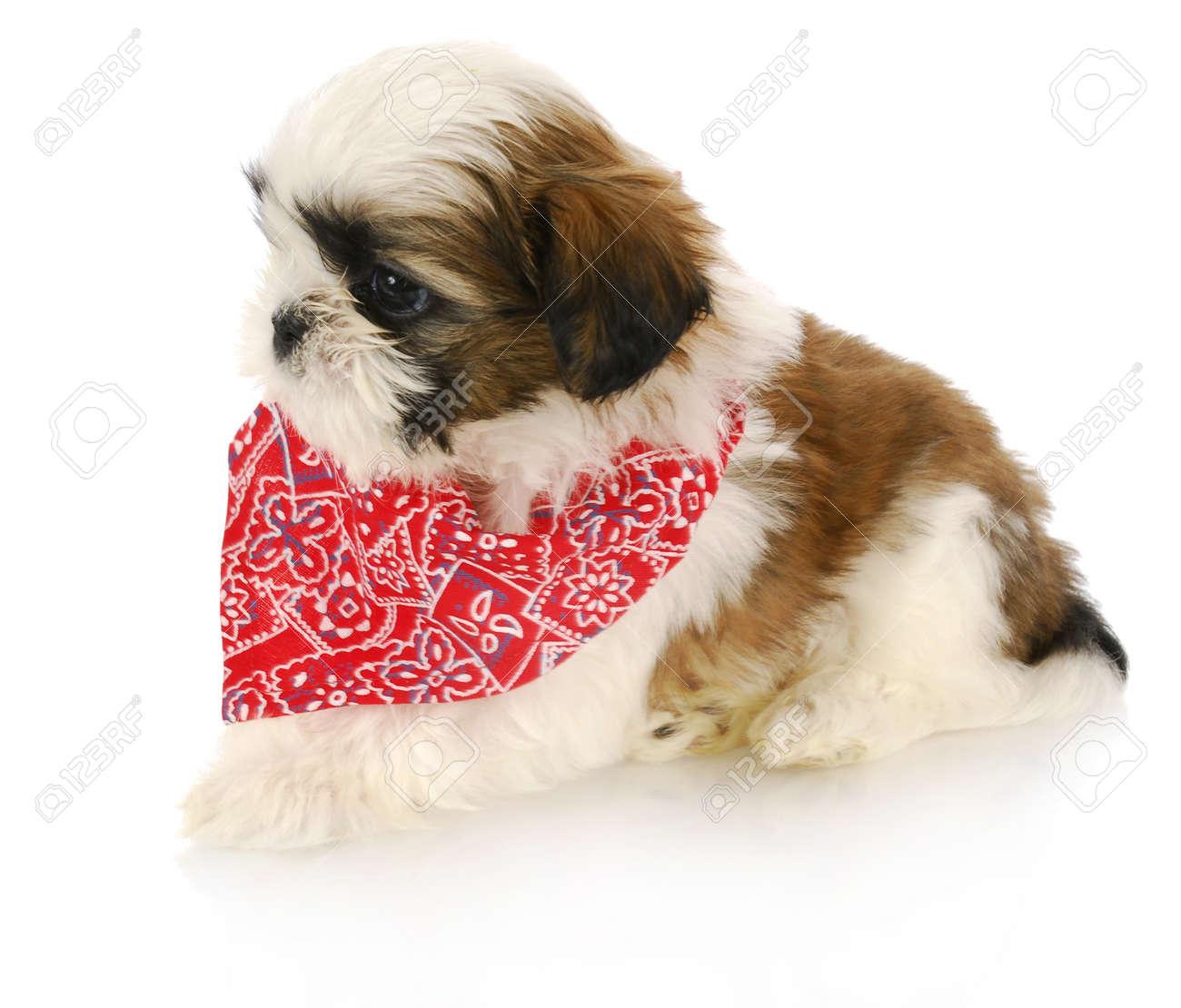 Shih Tzu Puppy Vistiendo Bandanna Rojo Con La Reflexion Sobre Fondo Blanco Fotos Retratos Imagenes Y Fotografia De Archivo Libres De Derecho Image 8548312