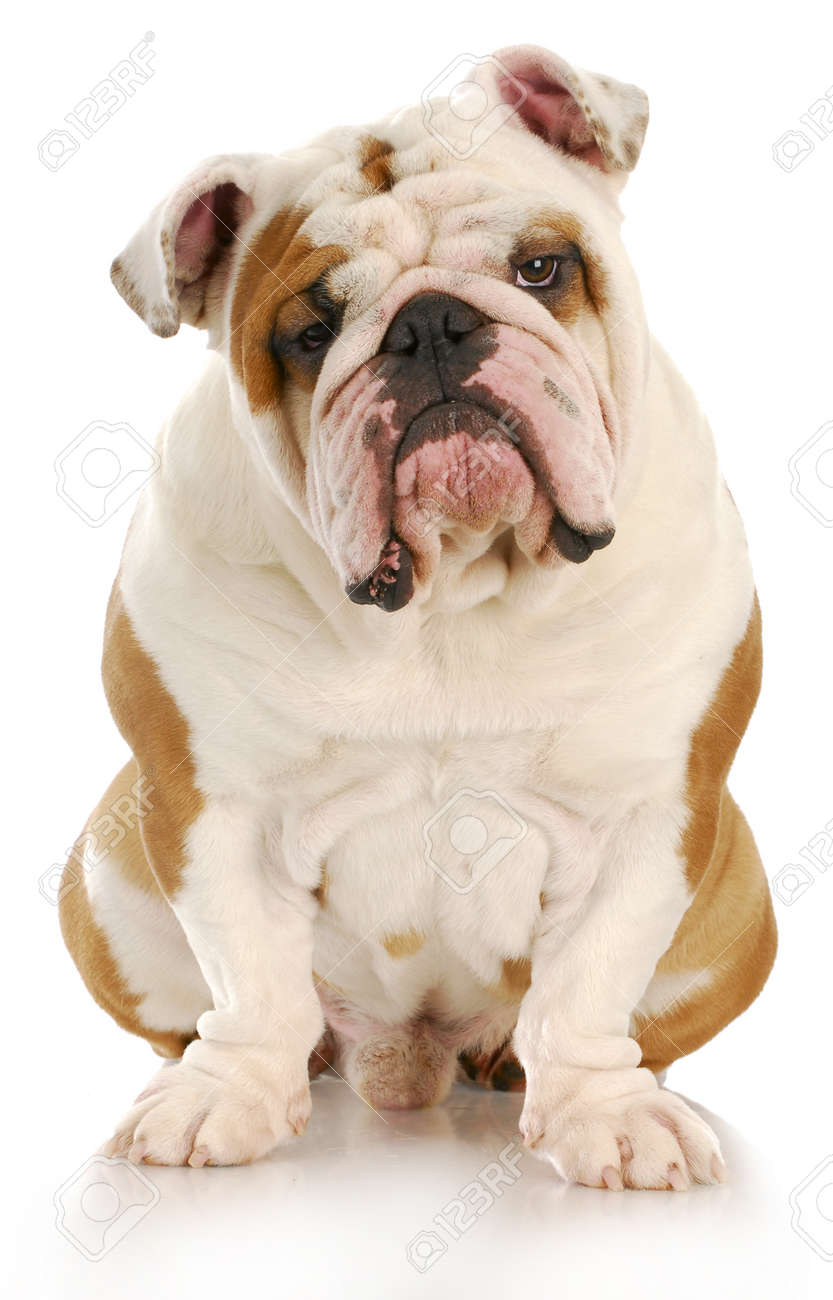 english bulldog sitting looking at viewer with reflection on white background Stock Photo - 8548315