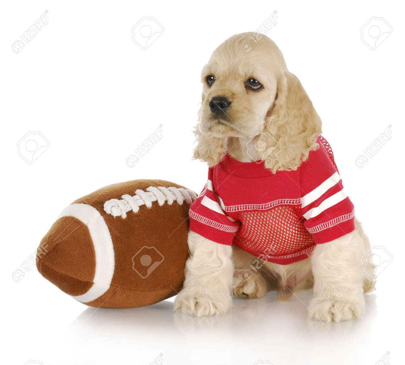 cute cocker spaniel puppy wearing football jersey sitting beside stuffed football Stock Photo - 8824970