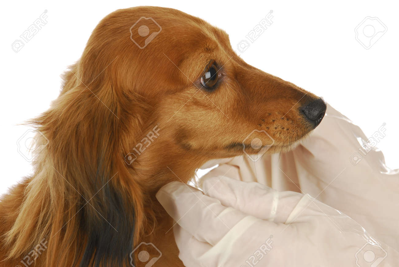 veterinary care - miniature dachshund being examined by veterinarian on white background Stock Photo - 8823371