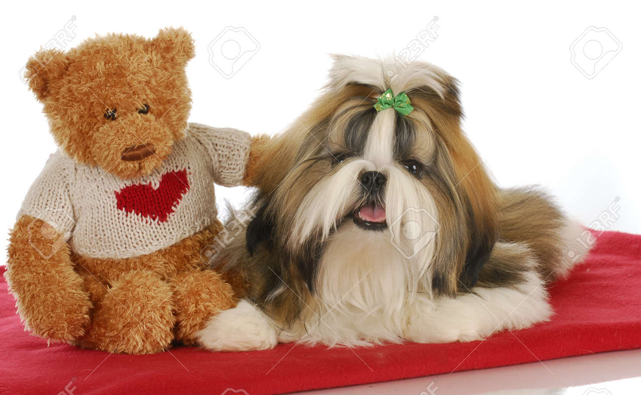 Puppy Love Teddy Bear Comforting Adorable Shih Tzu Puppy On Stock Photo Picture And Royalty Free Image Image 8823368