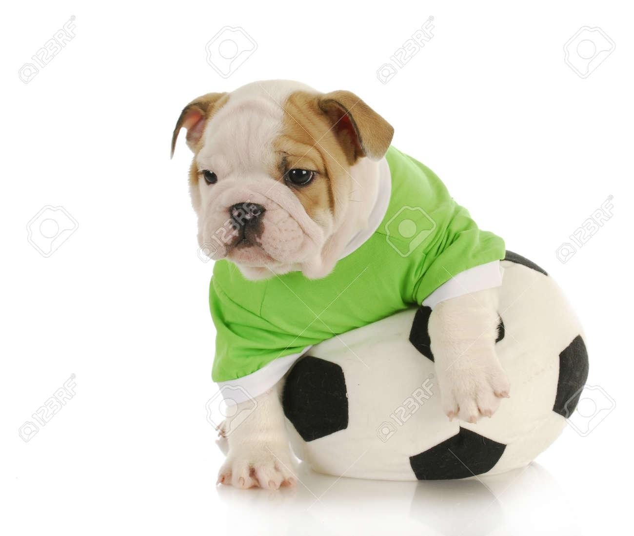 english bulldog puppy playing with stuffed soccer ball on white  - english bulldog puppy playing with stuffed soccer ball on white backgroundstock photo