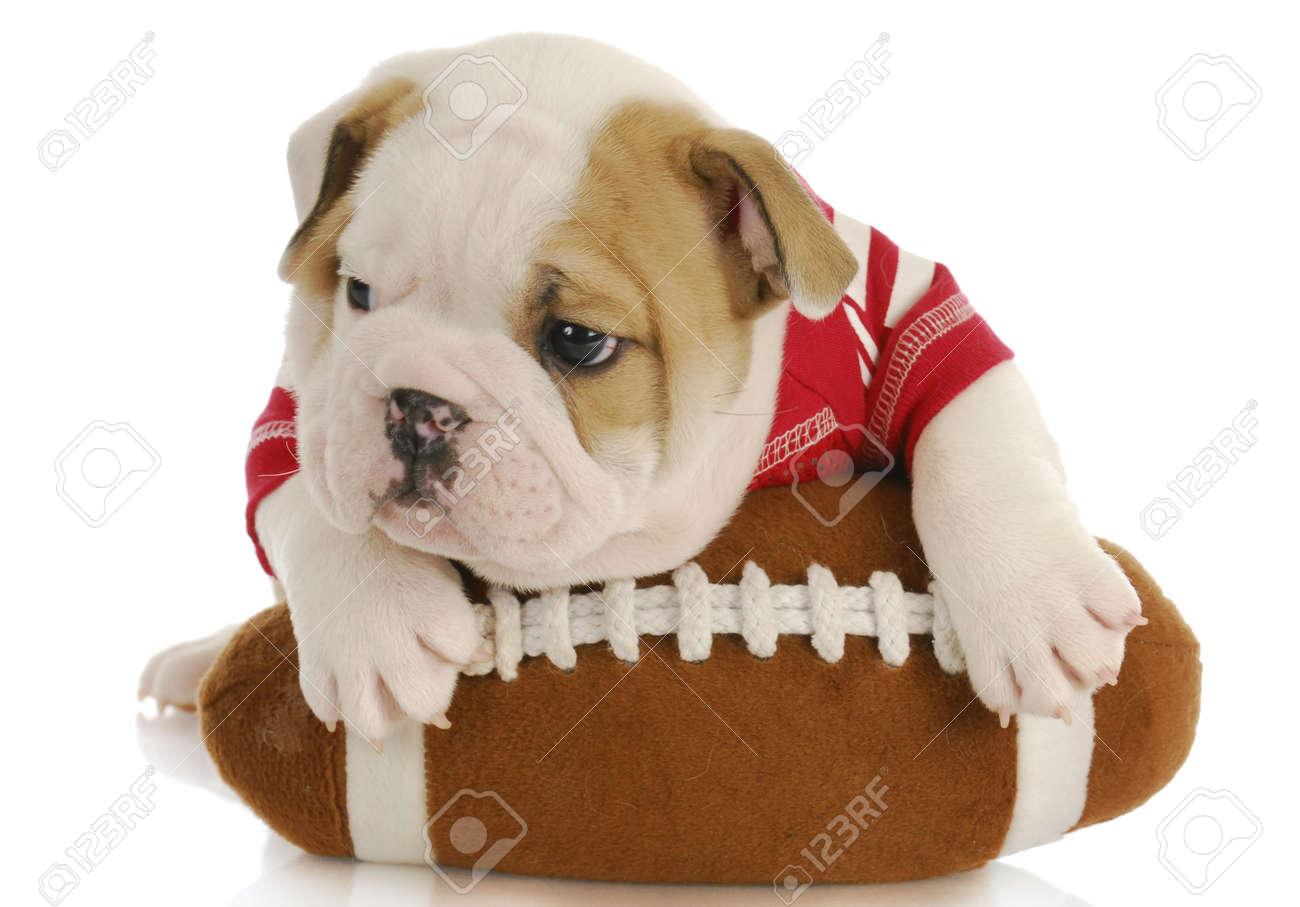 english bulldog puppy wearing football jersey laying on stuffed  - english bulldog puppy wearing football jersey laying on stuffed football six weeks old stock photo
