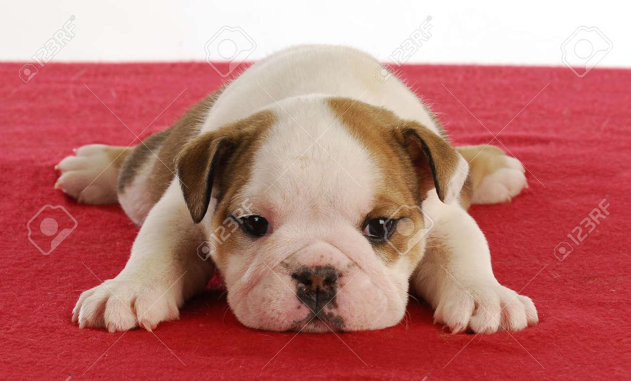 Linda Bulldog Ingles Cachorro Establecen En Manta Roja 5 Semanas Fotos Retratos Imagenes Y Fotografia De Archivo Libres De Derecho Image 9099377