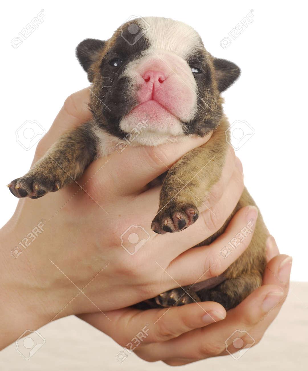 Newborn Puppy English Bulldog Puppy 2 Weeks Old Stock Photo