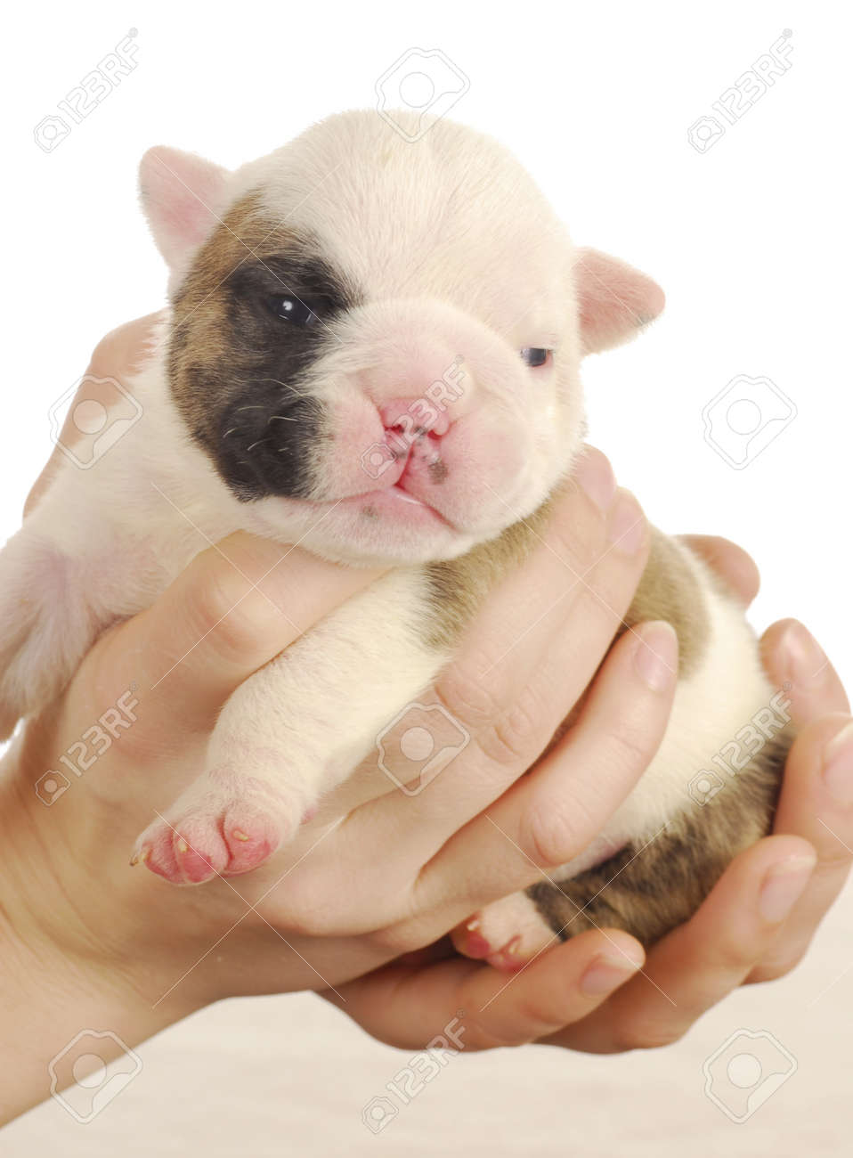 newborn puppy - english bulldog puppy - 2 weeks old Stock Photo - 9172736