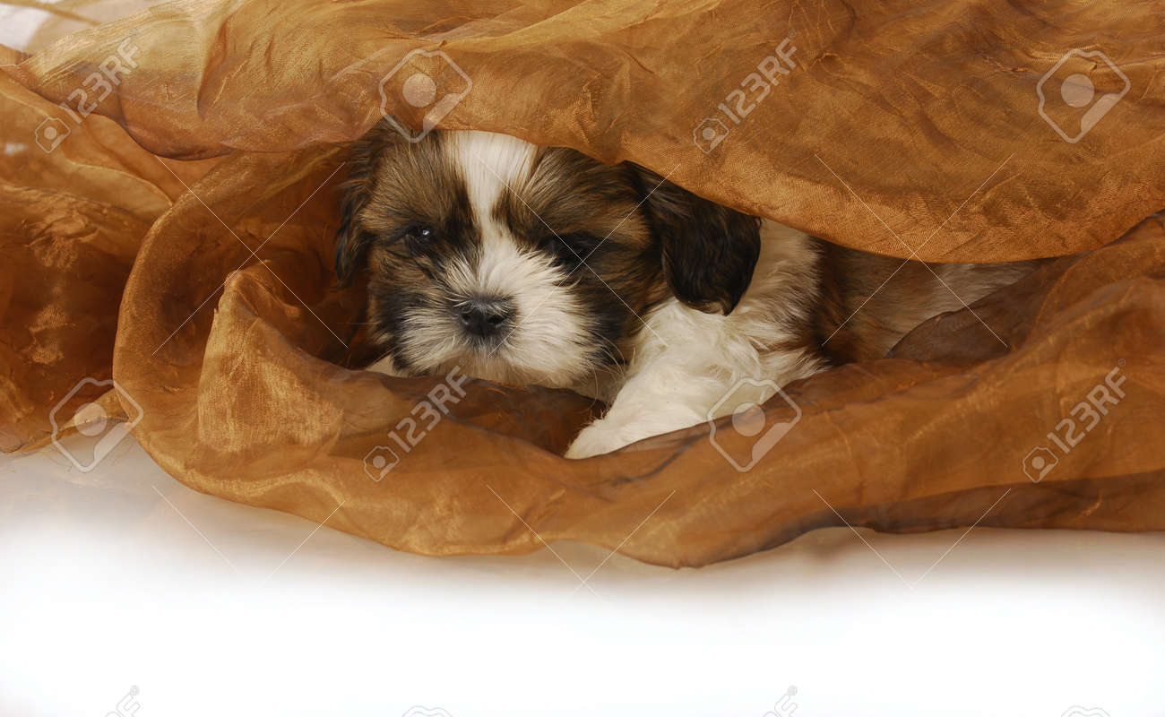 Adorable Shih Tzu Puppy Peeking Out Under Blanket 6 Weeks Old