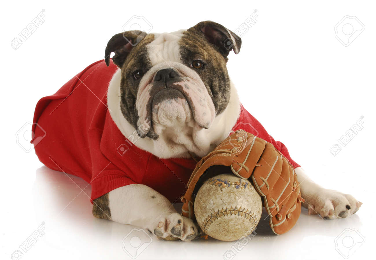 pet exercise - bulldoy laying down with baseball and glove on white background Stock Photo - 9389451