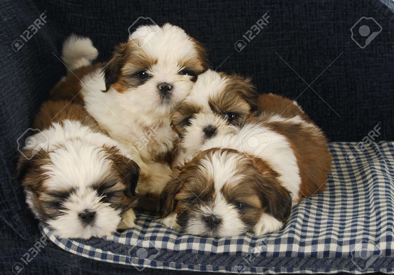 Litter Of Puppies Four Shih Tzu Puppies Laying On Dog Bed