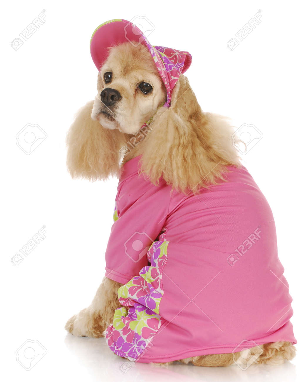 female dog - cute cocker spaniel wearing pink hat and shirt - 9 years old Stock Photo - 9515559