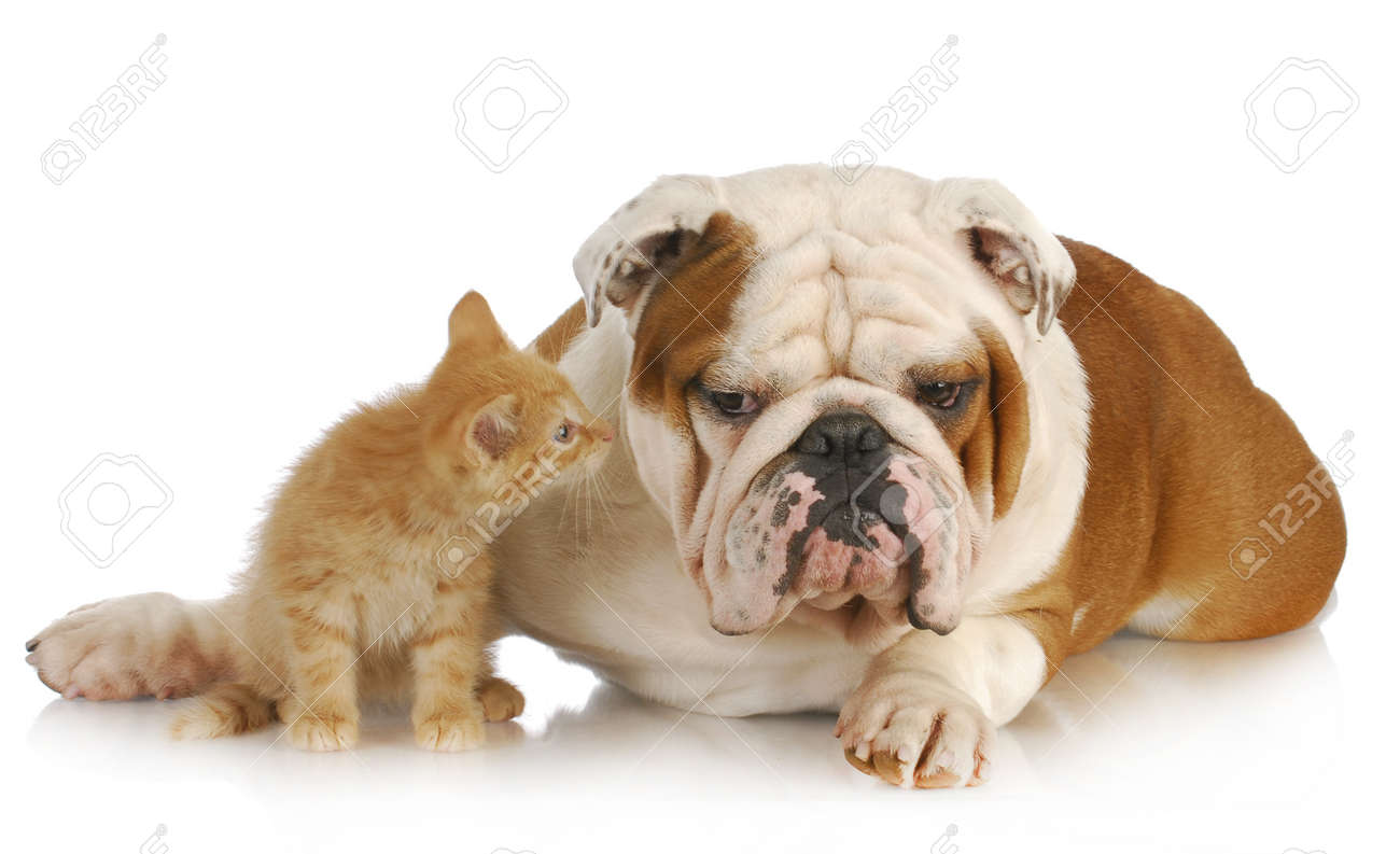 dog and cat - english bulldog and young kitten together on white background Stock Photo - 9534388