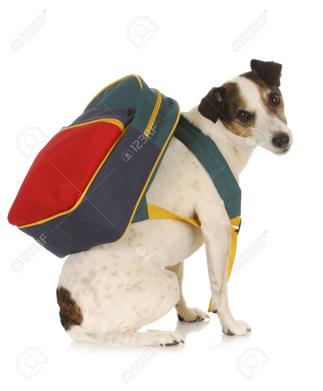 dog school - jack russel terrier wearing backpack on white background Stock Photo - 9663549