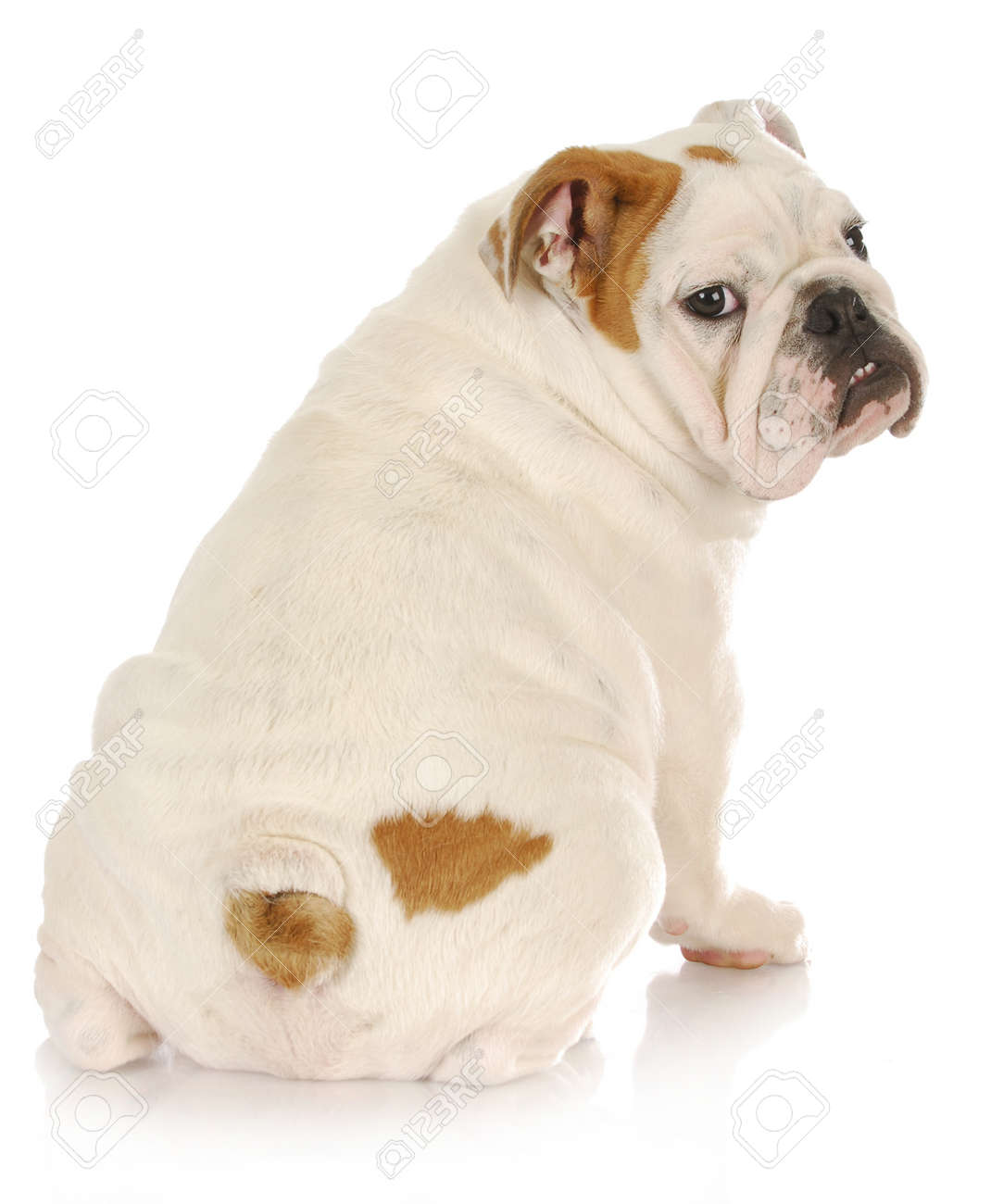english bulldog puppy looking over shoulder on white background - 4 months old Stock Photo - 9738756