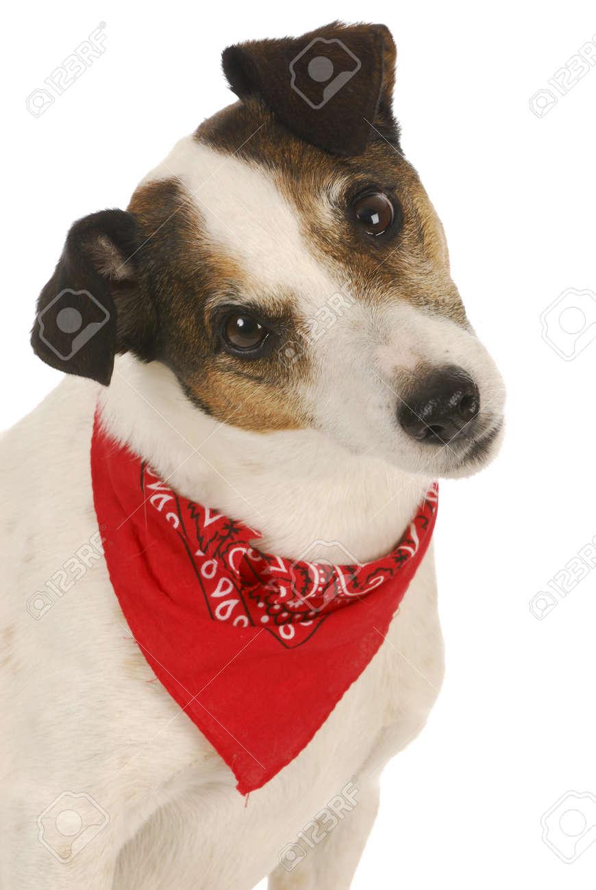 jack russel mit rotem halstuch