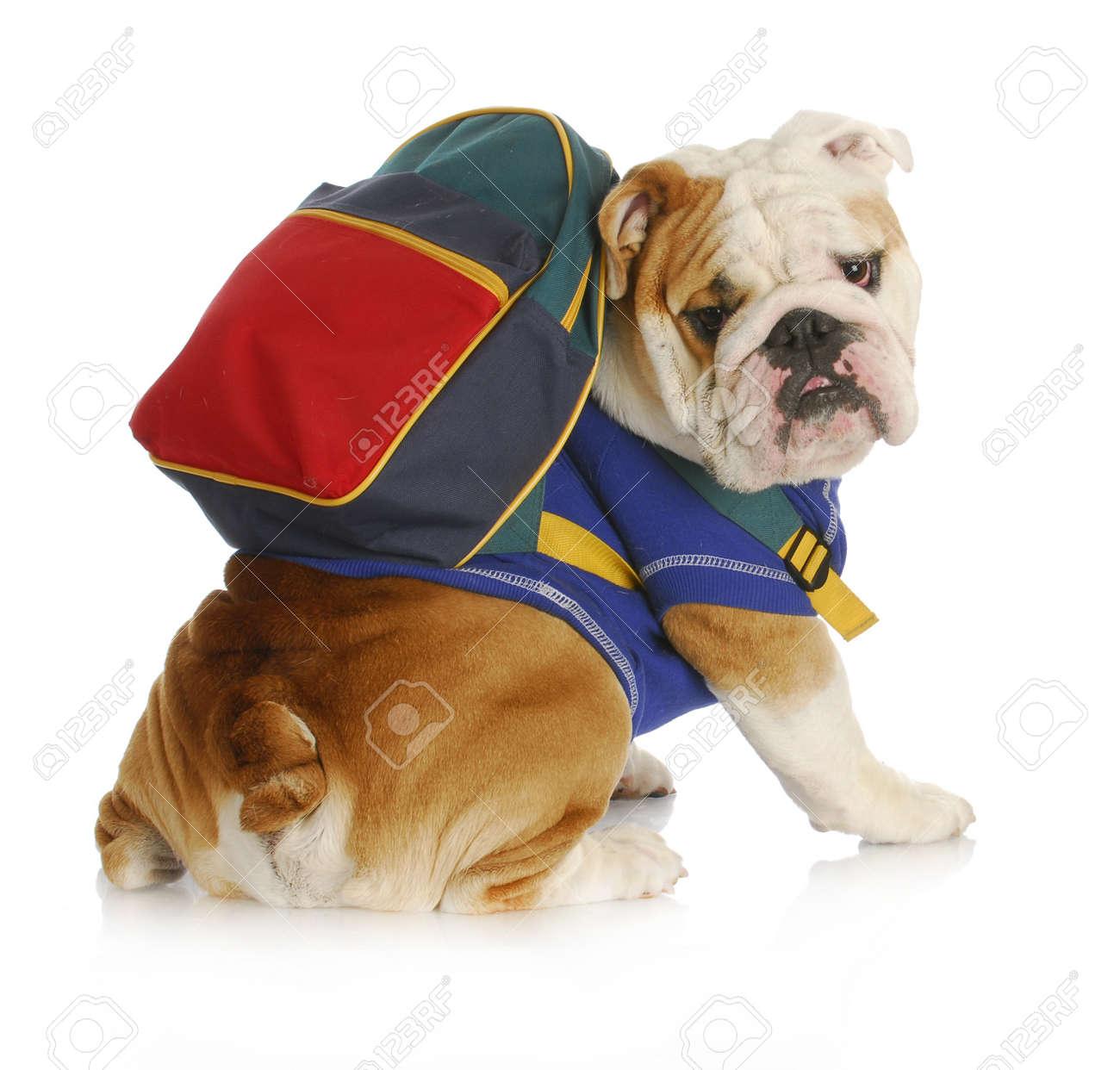 dog obedience school - english bulldog wearing blue shirt and matching back pack looking at viewer Stock Photo - 10493285