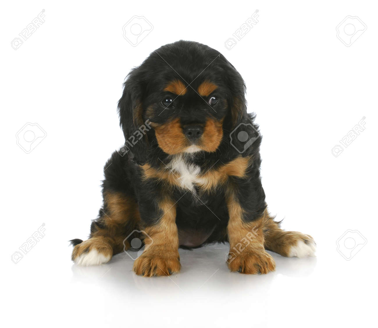 Download Charles Spaniel Brown Adorable Dog - 10594776-cute-puppy-black-and-tan-cavalier-king-charles-spaniel-puppy-sitting-6-weeks-old  Best Photo Reference_431462  .jpg