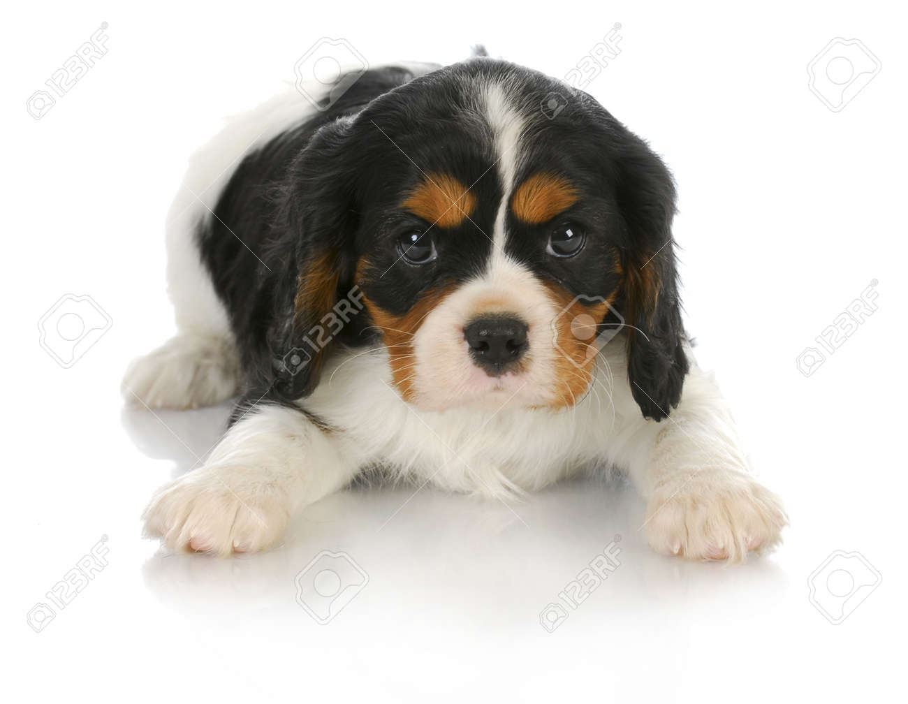 Cute Puppy Tri Color Cavalier King Charles Spaniel Puppy Laying Stock Photo Picture And Royalty Free Image Image 10594774