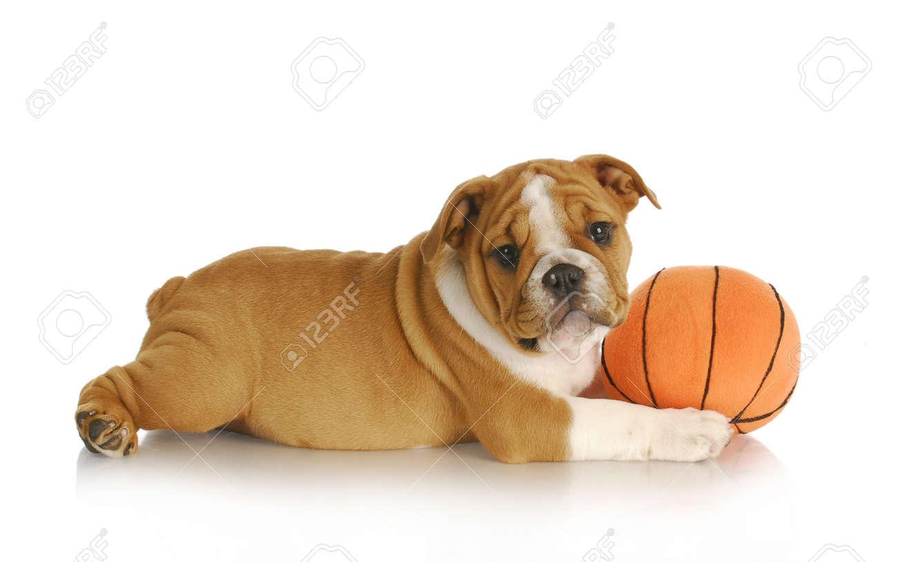 Good Bulldog Ball Adorable Dog - 10815058-puppy-playing-english-bulldog-puppy-playing-with-a-ball-nine-weeks-old  Graphic_751170  .jpg