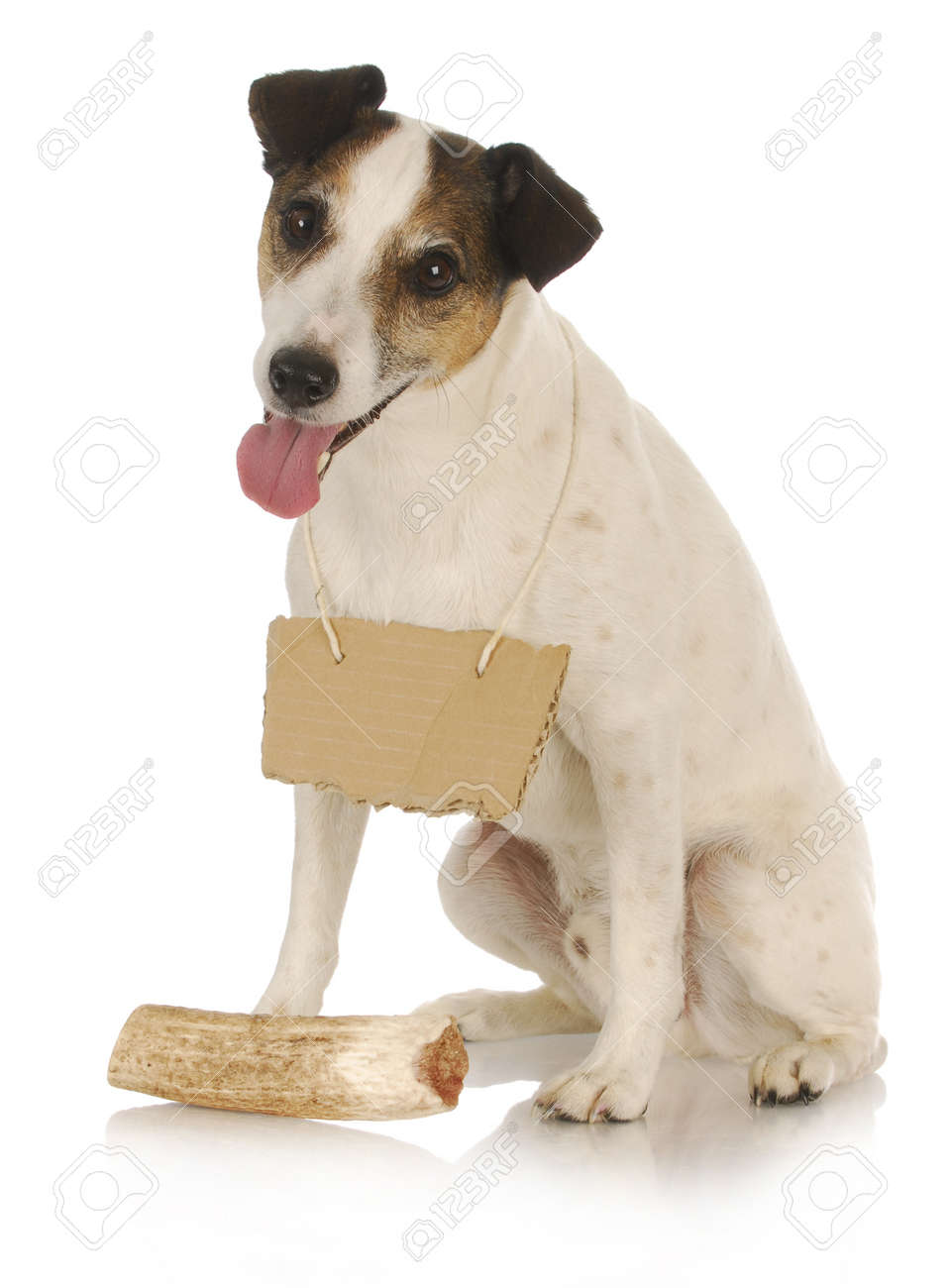 dog with bone - jack russel terrier wearing blank sign around neck sitting in front of dog bone Stock Photo - 11104329